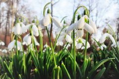 Blooming snowdrops in the garden Royalty Free Stock Photo
