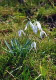 Snowdrops in a meadow during the spring morning sun. Stock Photo