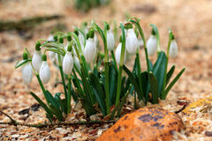 Blooming snowdrops Stock Photo