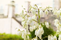 Blooming Soaptree yucca Yucca elata in the garden. royalty free stock photography