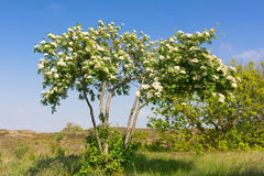 Blooming Sorbus Royalty Free Stock Photos