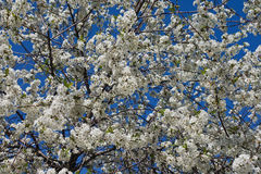 Blooming sour cherry tree Royalty Free Stock Photo
