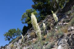 Blooming Spanish Bayonet. Blooming yucca plants known as Spanish Bayonet is blooming profusely along a steep mountainside in Los Padres National Forest in stock image
