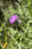 Blooming spear thistle Stock Photography