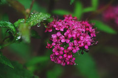 Blooming Spiraea Japonica Japanese spirea closeup Royalty Free Stock Photo