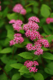 Blooming Spiraea Japonica Japanese spirea closeup Royalty Free Stock Photos