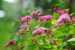 Blooming Spiraea Japonica Japanese spirea closeup Royalty Free Stock Image