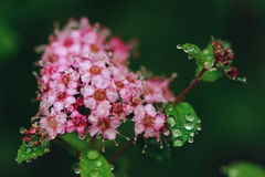 Blooming Spiraea Japonica Japanese spirea closeup Royalty Free Stock Photography