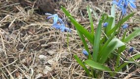 Blooming spiraea Royalty Free Stock Images