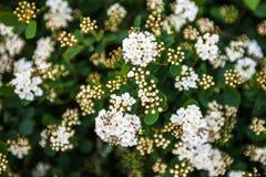 Blooming Spiraea shrub Royalty Free Stock Photos