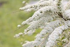 Blooming spirea. Royalty Free Stock Image