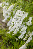 Blooming spirea. Royalty Free Stock Images