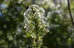 Blooming spirea by white small flowers Royalty Free Stock Photography