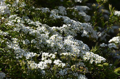 Blooming spirea by white small flowers Stock Photos