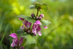 Spotted deadnettle Lamium maculatum. Blooming spotted deadnettle Lamium maculatum in spring Stock Image