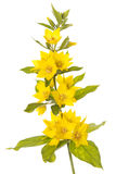 Blooming spotted loosestrife Stock Image