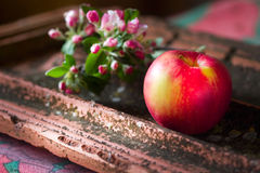Blooming sprig of apple and apple Stock Images