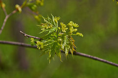 Blooming sprig of maple leaves first. Stock Image
