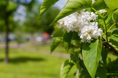 Blooming sprig of white lilac on a bright Sunny summer day Stock Photos