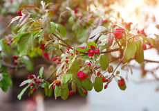 Blooming sprig of wild apple tree in springtime Stock Photos