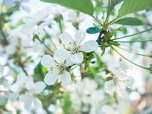 Blooming in the spring. Beautiful white flowers on the tree. Closeup stock image
