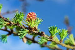 Blooming spring branch of a larch closeup Royalty Free Stock Image