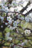 Blooming spring branches of plums royalty free stock image