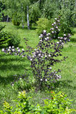 Blooming spring bush physocarpus diabolo in the garden Royalty Free Stock Photo