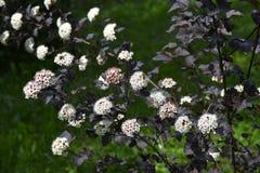 Blooming spring bush physocarpus diabolo in the garden Royalty Free Stock Image