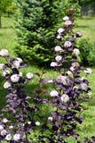 Blooming spring bush physocarpus diabolo in the garden Stock Image
