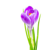 Blooming spring crocus flower Stock Photography