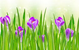 Blooming spring crocus flower Stock Image