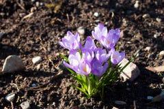 Blooming Spring crocus Crocus vernus. Blooming Spring crocus Crocus vernus on the ground royalty free stock photos