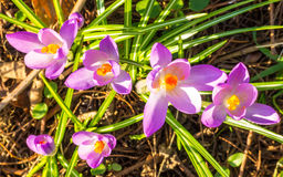 Blooming Spring Crocuses Royalty Free Stock Images