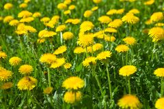 Blooming spring dandelions stock photos