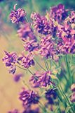 Spring flowers Aquilegia vulgaris Royalty Free Stock Photography