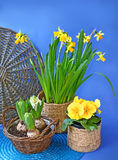 Blooming spring  flowers in a basket on blue background Stock Image