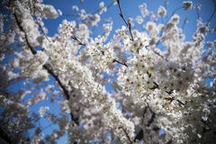 Blooming spring flowers Stock Photography