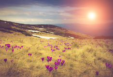 Blooming spring flowers crocus as soon as snow descends on the background of mountains in sunlight. Filtered image:cross processed vintage effect Stock Image