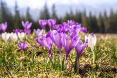 Blooming spring flowers crocus growing in wildlife Royalty Free Stock Photo