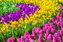 Blooming spring flowers in Holland. Park Keukenhof Stock Photography