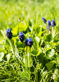 Blooming spring flowers of muscari Stock Images