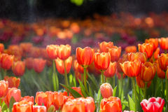 Blooming spring flowers tulips Royalty Free Stock Image