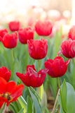 Blooming spring flowers tulips Stock Images