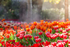 Blooming spring flowers tulips Royalty Free Stock Photography