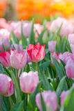 Blooming spring flowers tulips Royalty Free Stock Images