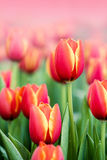 Blooming spring flowers tulips Stock Image