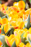 Blooming spring flowers tulips Stock Photos