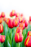 Blooming spring flowers tulips Royalty Free Stock Photos