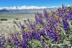 Blooming spring flowers, view on Sierra Nevada mountains and Mount Whitney, California, USA stock photography